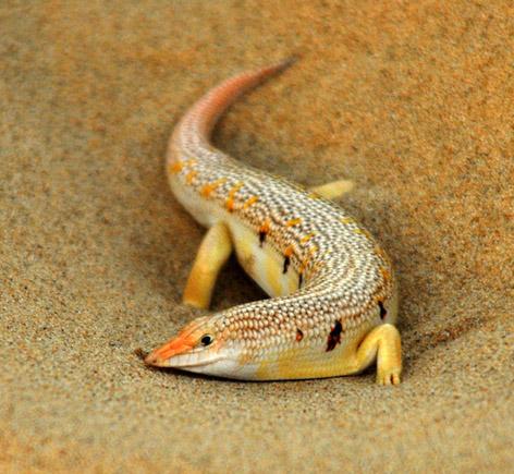 Sand skink2