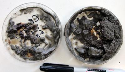 Oiled sediments